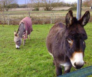 donkeys (1)