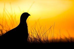 grouse-1107407_1920 (1)